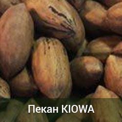 Саженцы ореха Пекан Kiowa 2-х летний