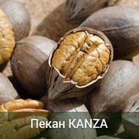 Саженцы ореха Пекан Kanza 2-х летний