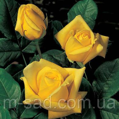 Саженцы роз Старлайт, фото 2