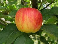 """Саджанці яблунь """"АМБАСІ"""" літні"""