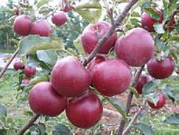 """Саджанці яблунь """"ЕЛІЗА"""""""