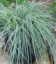 "Carex ""Blue Zinger"""
