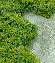 """Пахісандра """"Green Carpet"""""""