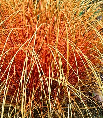 "Carex ""Bronze Perfection"""