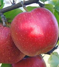 Яблуня Амулет