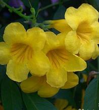 Кампсіс (Текома) Жовті квіти