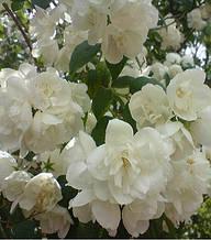 "Чубушник ""Bouquet Blanc"""