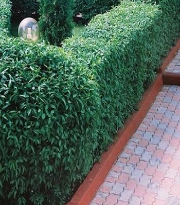 Бірючина зелена (1 шт.)