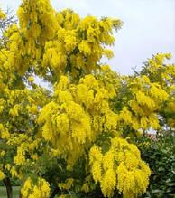 Карагана деревовидна(жовта акація)