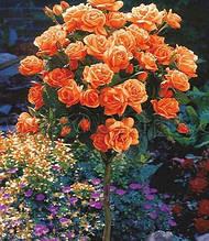 "Троянда ""Troika"" (Привита на штамбі)"