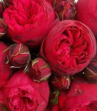 """Троянда англійська """"Red Piano"""""""