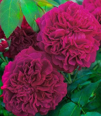 """Троянда англійська """"William Szekspir"""""""