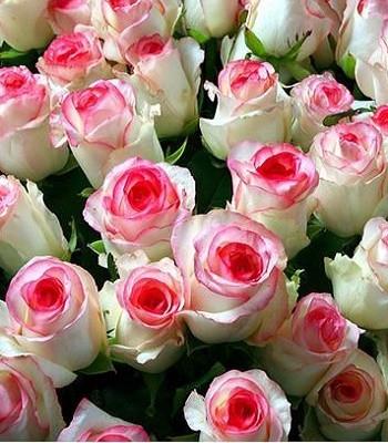 """Троянда ч/г """"Бедермейер Гарден"""""""