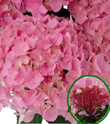 """Гортензія крупнолистова """"Saxon Style Pink"""""""