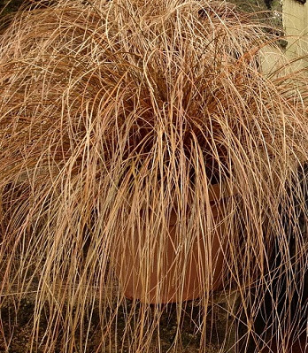 "Carex ""Bronze"""