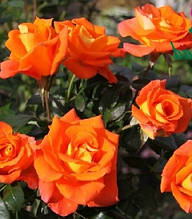 "Троянда бордюрна оранжева ""Orange Baby"""