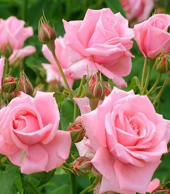 "Троянда бордюрна рожева ""Lydia"""