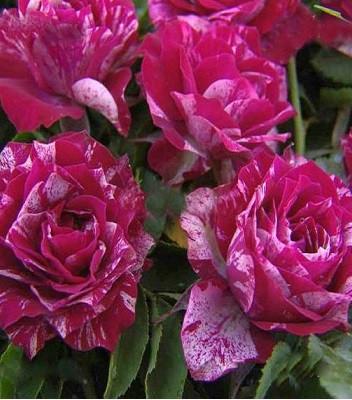"""Троянда бордюрна вишнево-біла """"Arrow Folies"""""""