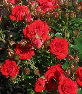 "Троянда бордюрна червона ""Red Tornado"""