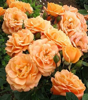 """Троянда бордюрна """"Clementine"""""""