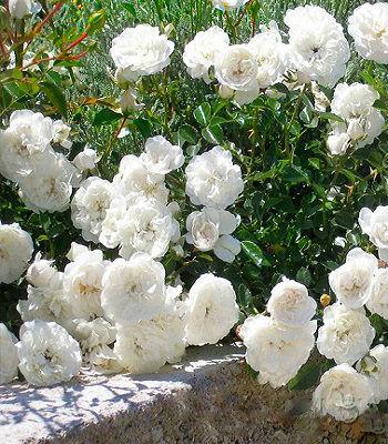 Троянда грунтопокривна біла