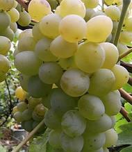 "Виноград ""Vostorg"""
