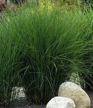 "Miscanthus sinensis ""Morning Light"""