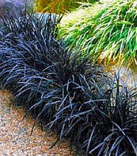 "Ophiopogon ""Black Dragon"""