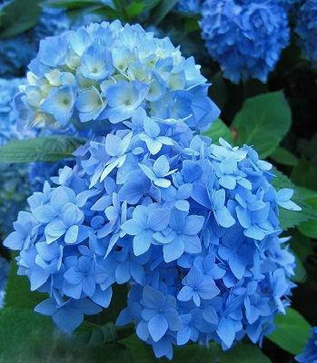 """Гортензія крупнолистова """"Nikko Blue"""""""