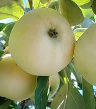 Яблуня Паперівка