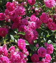 "Троянда Віхури ""Excelsa"""