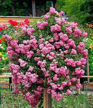Троянда банкса рожева
