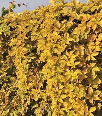 """Виноград дівочий  п'ятилистий """"Yellow Wall"""""""