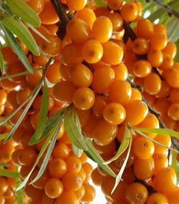 """Обліпиха крушиновидна """"Friesdorfer Orange"""""""