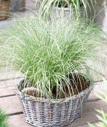 """Carex """"'Frosted Curls"""""""