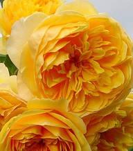 """Троянда англійська """"Golden Celebration"""""""