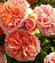 """Троянда англійська """"Chippendale"""""""