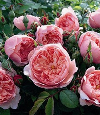 """Троянда англійська """"Brother Cadfael"""""""