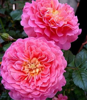 """Троянда англійська """"Christopher Marlowe"""""""