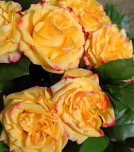 "Троянда ""Corso"" (Привита на штамбі)"