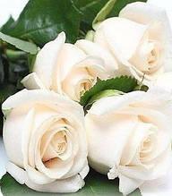 "Троянда ч/г ""Карен Бликсен"""