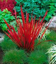 "Imperata cylindrica ""Red Baron"""