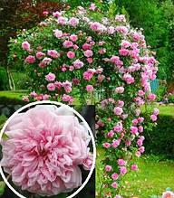 """Троянда """"Paul Noel"""""""