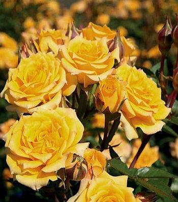 """Троянда бордюрна жовта """"Golden Baby"""""""