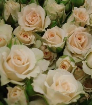 """Троянда бордюрна біло-кремова """"Cream Gracia"""""""