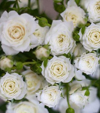 """Троянда бордюрна біла """" White Lady"""""""