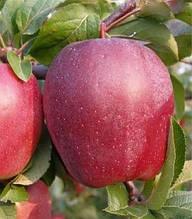 Яблуня Глостер