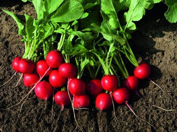 РУДОЛЬФ / RUDOLF семена редиски, 500 г — раняя, красная, Bejo, фото 2