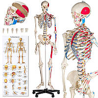 Подробный анатомический скелет 181 см