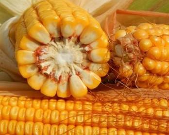 Семена кукурузы Гунор ФАО 350